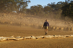 moving овцы Стоковые Фотографии RF