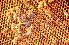 Moving пчелы на рамке сота Стоковое Фото