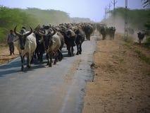 Moving скотины в сельском Гуджарате Стоковое Изображение RF