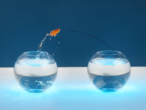 Moving. Goldfish jumps from one bowl to another Stock Photography