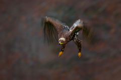 Moving action scene, flying dark brawn bird of prey Steppe Eagle, Aquila nipalensis, with large wingspan, Slovakia Stock Photography