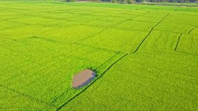 Moving aerial view of rice field with small lake and road. Drones moves up from bright green rice field with small brown lake and country road against trees stock video