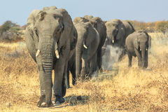 Moving African Elephants Stock Photography