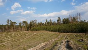 Moving along pine forest clear cut. Scene characteristic for scots pine forests in Europe. Forest stand structure is typical for commercial forests, dynamic stock footage