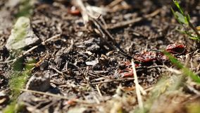 Moving ants close-up. Wildlife insects stock video footage