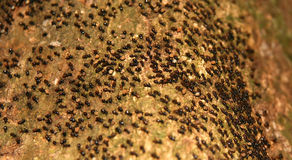 Moving Ants Colony. Moving colony of ants in the jungle in Malaysia Royalty Free Stock Image