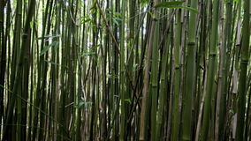 Moving through bamboo forest stock footage