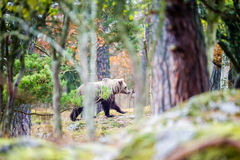Moving Bear. The wild bear moving between the trees in an enclosed pasture for cows on a farm in Uppland, Sweden stock photos