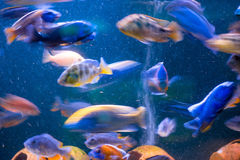 Moving beautiful exotic fish Royalty Free Stock Images