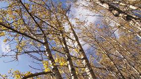 Moving through birch forest in autumn stock footage