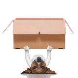 Moving box  dog. Dog lifting a very big moving box Royalty Free Stock Image