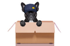 Moving box dog. Mail  delivery  french bulldog dog inside a big moving box   , isolated on white background Royalty Free Stock Photography