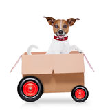 Moving box dog. Mail  delivery  jack russell dog in a big moving box on wheels ,isolated on white background Stock Image