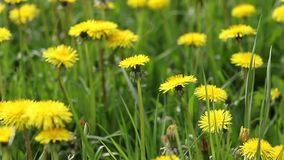 Moving camera footage of dandelion meadow stock video
