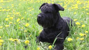 Moving camera footage of the Giant Black Schnauzer Dog stock footage