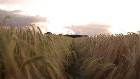 Moving through a cornfield stock video