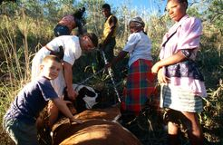 Moving a dead cow in rural South Africa Stock Photo
