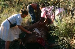 Moving a dead cow in rural South Africa Royalty Free Stock Image