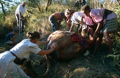 Moving a dead cow in rural South Africa Stock Photography