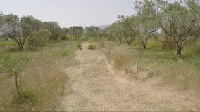 Moving in a field with Olive Trees stock video footage