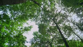 Moving footage of green forest with high woods stems, long angle, gleaming sunbeams and nature during sunny summer