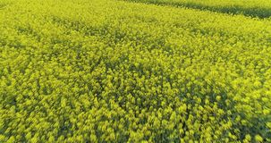 Moving forward over yellow flowers field in summer day. Europe Italy outdoor green nature scape aerial establisher.4k stock video footage