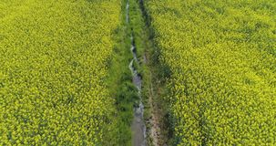 Moving forward over yellow flowers and water canal field in summer day. Europe Italy outdoor green nature scape aerial stock video