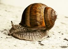 Moving garden snail on marmor ground Royalty Free Stock Photo
