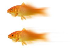 Moving goldfish. High resolution image of a moving goldfish isolated on white.  2 images with slight variations Royalty Free Stock Image