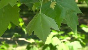 Moving green vine leaf close up background stock footage