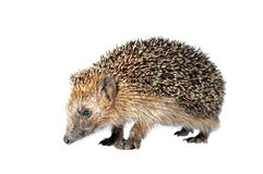 Moving hedgehog Royalty Free Stock Photography