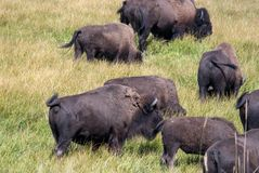 Moving herd of Buffalo in Yellowstone Royalty Free Stock Photos