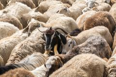 Herd of sheep. Moving Herd of sheep in the mountain royalty free stock images