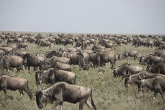 Moving herd during wildebeest great migration in Serengeti Natio Royalty Free Stock Photo