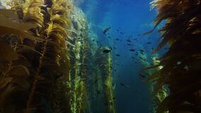 Moving through a magnificent giant kelp forest off behind school of multicolored small fishes near California coast