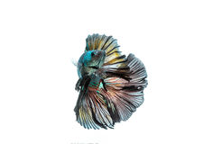 Moving moment of siamese fighting fish isolated. On white background royalty free stock photo