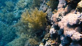 Big variety of colorful corals at reef. Moving near a beautiful and colorful coral reef, Red sea, Egypt. Full HD underwater footage stock video