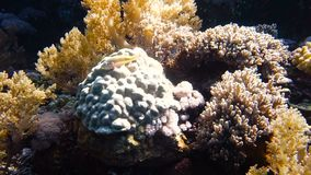 Big variety of colorful corals at reef. Moving near a beautiful and colorful coral reef, Red sea, Egypt. Full HD underwater footage stock footage