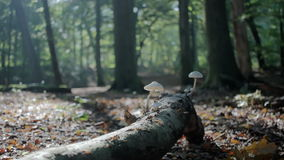 Moving over Branch to Mushrooms in Autumn Forest. Medium long low angle high dynamic range shallow depth of field tracking slider shot moving towards white stock video footage