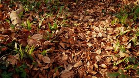 Moving Over Woodland Path Covered In Fall Leaves stock video footage