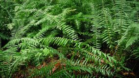 Moving Past Dense Forest Ferns. Dolly shot moving slowly past ferns deep in the woods stock video footage