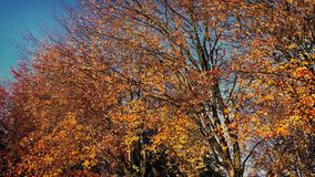 Moving Past Fall Trees In The Sun. Dolly shot moving slowly past large trees in fall colors stock video