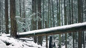 Moving Past Fallen Tree In The Snow. Dolly shot moving slowly past a large log in snowfall stock video footage
