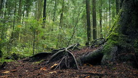 Moving Past Large Tree Roots In Forest. Dolly shot slowly moving past large tree roots in the woods stock footage