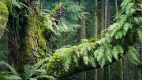 Moving Past Old Growth Tree In The Forest. Slowly moving past an old-growth tree trunk covered in moss and ferns in gentle breeze stock video