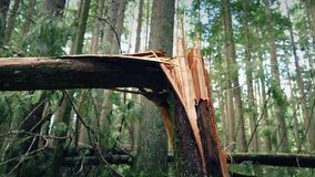 Moving past tree broken in half by storm. Closeup tracking shot of broken tree trunk after a storm in sunny forest stock video