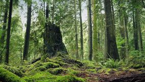 Moving Past Tree Stump In The Forest stock footage