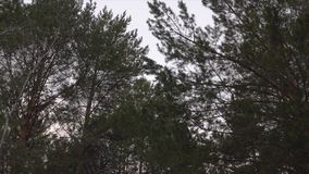 Moving through pine forest. Low angle shot. Close up view of trees during the day in the forest stock video