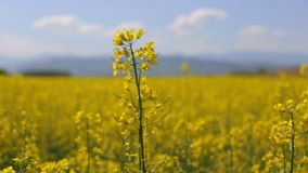 Placing a rapeseed flower in focus stock footage