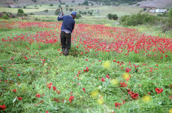 Moving red poppy. Man in Middle Atlas in Morocco in his farm, Azrou, May 2008 Royalty Free Stock Photography